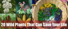 20 Wild Plants That Can Save Your Life :http://www.askaprepper.com/wild-plants-that-can-save-your-life/