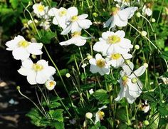 Anemone hybrida 'Honorine Jobert'is een bladverliezende vaste plant met een polvormende habitus en ruw getande, diep gelobde, donkergroene bladeren die aan de bovenzijde licht donzig zijn en aan de onderkant viltig. Deze herfstanemoon bloeit van augustus tot oktober met grote witte enkelvoudige bloemen. Hij houdt van een standplaats in volle zon of licht schaduw en goed doorlaatbare grond, eens gevestigd kan hij ook wat meer droogte aan. Anemone hybrida'Honorine Jobert' is voldoende ...