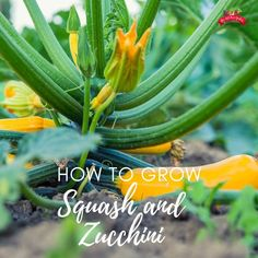 Want to grow squash and/or zucchini in your backyard vegetable garden? I've got you covered with helps and tips including common pests, best varieties to grow, planting from seeds, and how to preserve squash and zucchini! Growing Vegetables Indoors, Easy Vegetables To Grow, Growing Herbs, Backyard Vegetable Gardens, Container Gardening Vegetables, Greenhouse Gardening, Gardening For Beginners, Gardening Tips, Sunburst Squash