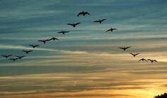 ¿Por qué las bandadas de pájaros vuelan en V?