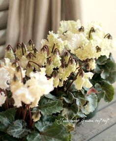 Cyclamen Peesicum コンテナミニシクラメン『森の妖精』white
