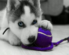 Siberian Husky puppy with a ball photo and wallpaper. Beautiful Siberian Husky puppy with a ball pictures Cute Husky Puppies, Siberian Husky Puppies, Siberian Huskies, Husky Puppy, Puppy Love, Cute Dogs, Dogs And Puppies, Huskies Puppies, Doggies