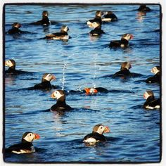 puffins, puffins, everywhere! :)