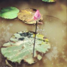 lotus flower-Mekong delta-ho chi minh