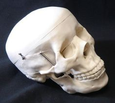 Ginsberg Scientific 7-1391 Plastic Skull Model: Amazon.co.uk: Toys & Games