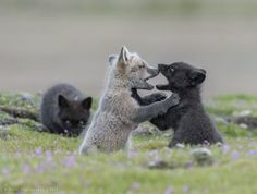 Fox Cubs by Anthony Bucci - National Geographic Your Shot