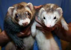 "Ferrets come from the same family (""Mustelidae"") as badgers, wolverines, otters, mink, weasels, black footed ferrets and polecats. #ferrets"