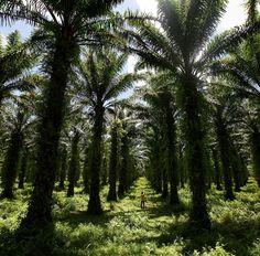 Palmes à Tamatave, Madagascar