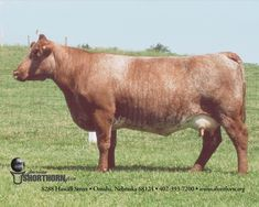 The Shorthorn breed of cattle originated in the North East of England in the late 18th century. The breed was developed as dual purpose, suitable for both dairy and beef production; however there were ... Wikipedia