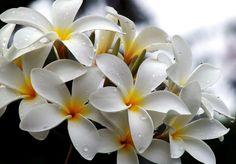 Champa flower or Plumeria (Calophyllum Inophyllum) - Natinal flower of Laos via Pixdaus