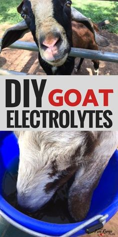 Raising Goats: Keep your goats hydrated in the summer or when they are sick with this homemade electrolyte recipe