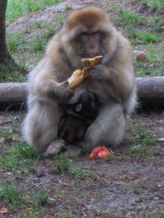 Visit to La Montagne des Singes - Barbary macaque monkey - Alsace region of France - see the 3-day old baby monkey!