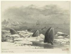 California grays among the ice.