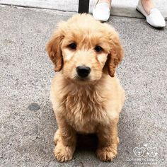From @bambamthegoldendoodle: @arimace capturing my fluff very well  #cutepetclub [source: http://ift.tt/2ikyBXr ]