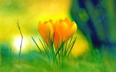 Terra/Natureza Flot  Opus Highres Yellow Green Tulip Colorful Nature Sunrise Brazil Pastel Crocus Papel de Parede