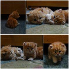 Oh, Look! Flailing Kittens!  Tiny fluffy orange kittens