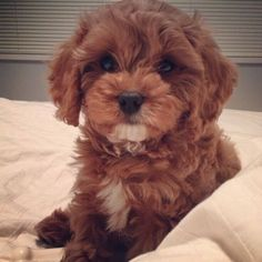 Everything about the Cavapoo dog breed. Discover Cavapoo coloring, sizing, traits, lifespan, and compare Cavapoos to other dog breeds. Cavapoo Puppies, Cute Puppies, Cute Dogs, Dogs And Puppies, Cockapoo, Labrador Puppies, Doggies, Goldendoodle, Poodle Puppies