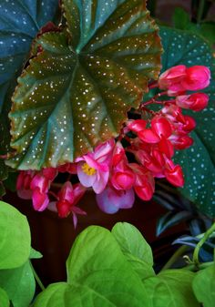 Begonia lucerna / Alternative botanical names: Begonia 'Corallina de Lucerna'.  Special handling: likes humidity. Does not like cold weather. Pinching tips and pruning outer stems in the growing season gives a bushier plant, good for hanging.