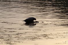 Seals on Islay: This one wasn't at all camera shy