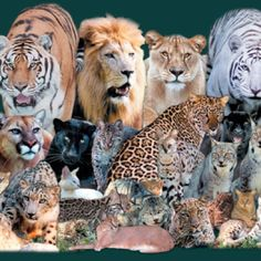 Wild cats - let's see who can name 'em!! Let me begin with 1st column, 2nd row: Cougar
