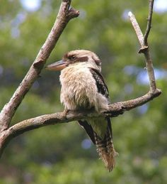 Laughing Kookaburra (Dacelo novaeguineae) A kingfisher a Kingfisher park