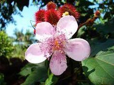 flor de urucu <3