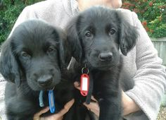 Flat Coated Retriever Pups ~ Classic Look & Trim