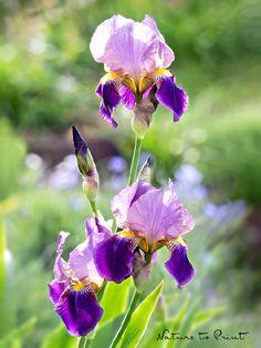 Blumenbild Iris im Morgenlicht