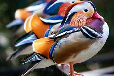 Мандаринка - самая красивая утка - Путешествуем вместе