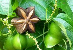 Дары Амазонки – арахис инков или сача инчи