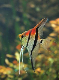 "Angelfish - ""Manacapuru"" Red Shoulder of Red Back Angelfish. by orestART on deviantART"