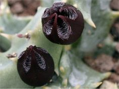 Stapeliopsis saxatilis (frncscg) Tags: apocynaceae asclepiadaceae asclepiads stapelianthus