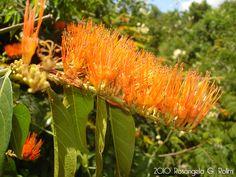 Flora Digital do Rio Grande do Sul e de Santa Catarina: Combretum fruticosum