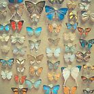 Butterfly Collection by Cassia