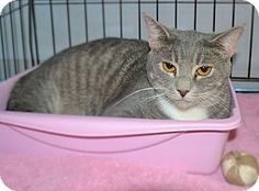 My name is Missy and I am a shy girl. I came into AAA this summer with kittens and they all have been adopted a long time ago, but I continue to get overlooked. I am only about 2 years old at most so please consider me. I am humble and sweet and will warm up to you if you provide me with a quiet home and some time to adjust to my new surroundings. I love other cats so I would make a great companion cat to poor cat who is left all alone all day. Are you looking for a second cat?