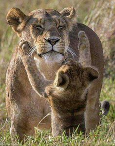 """Lion Cub:  """"Mom!  I thought you were NEVER  coming back!""""   (Photo By: © Susan Pormoy.)"""