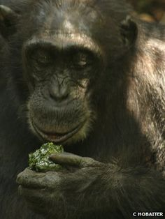 Chimps with tools: Wild ape culture caught on camera - first clear evidence of wild chimpanzees developing a new culture.