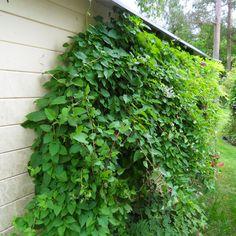 i Trädgården - bokharabinda, snabbväxande klätterväxt, arkitektens tröst