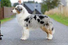 Blue merle Australian shepherd with natural tail – Debbies Dogs Australian Shepherd Training, Aussie Shepherd, Australian Shepherd Dogs, Shepherd Puppies, The Animals, Aussie Puppies, Cute Dogs And Puppies, Doggies, Corgi Puppies