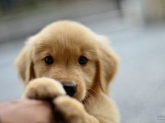 Little cute Golden Retriever puppy - Hunde - Puppies Animals And Pets, Baby Animals, Cute Animals, I Love Dogs, Cute Dogs, Really Cute Puppies, Funny Dogs, Cute Creatures, Golden Retrievers