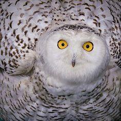 """""""I feel pretty! Oh so pretty! I feel pretty and witty and GAY!""""  -- SNOWY OWL - John H. Gavin"""