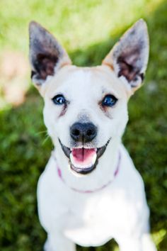 Amari. Three-year-old female Jack Russell Terrier Mix for adoption in Lake Odessa, Michigan. Click to see her page on PetFinder.