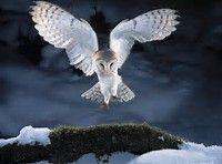Barn Owl Landing On Branch