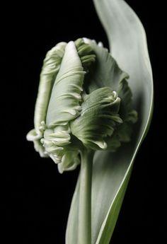 Green Parrot Tulip.