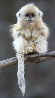 monkey with blue eyes - Google Search