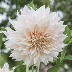 Find Dahlia Cafe au Lait online from Woolmans Flower Plants, Stunning, large flowered varieties, ideal fo creating impact in the border or for adding to large p Types Of Flowers, Large Flowers, Red Flowers, Beautiful Flowers, Colorful Flowers, Dalia Flower, Growing Dahlias, Dahlia Bouquet, Hardy Perennials