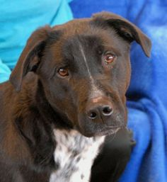 Nevada Society for the Prevention of Cruelty to Animals, Inc. (Nevada SPCA) Las Vegas, NV 89118 Jean-Marc~ <3 Smart, sensitive youngster, Labrador Retriever & Sporting Dog mix, neutered boy, 1 yr.   He is so eager to begin his new life & he has enormous promise!  He is reportedly housetrained.  An experienced, adult-only home is needed due to suspected physical and/or emotional abuse.  He may be particularly wary of strangers who remind him of past cruelty.