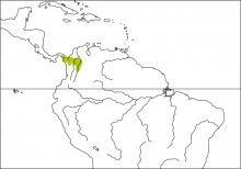 Black Oropendola (Psarocolius guatimozinus)