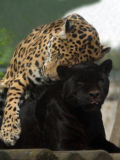 love you too! - Jaguare, Zoo Vienna, Austria
