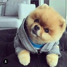 Curious (and cute) Pomeranian Cute Baby Dogs, Cute Small Dogs, Cute Little Puppies, Cute Little Animals, Cute Dogs And Puppies, Cute Funny Animals, Adorable Dogs, Funny Pets, Pet Dogs
